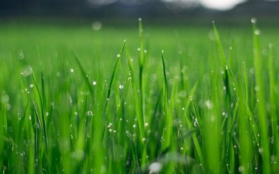 Why Fertilize your Lawn?