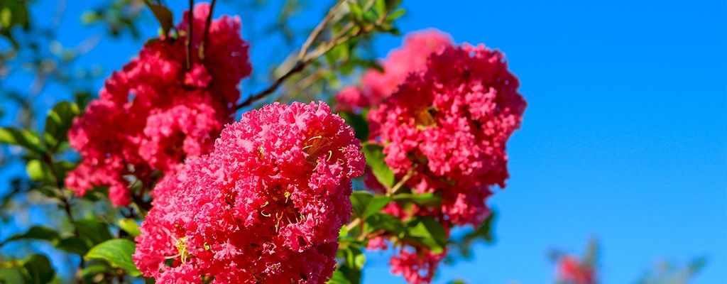 Crepe Myrtle - Blog - Peach Lawn Solutions